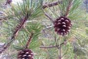 24 OTTOBRE 2021: PRATOMAGNO La gestione dei rimboschimenti di pino nero nell'esperienza del progetto Life SelpBio